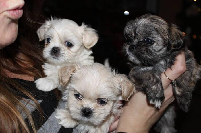 Imperial/Tea Cup Size Pure Bred Shih Tzu Puppies for sale in