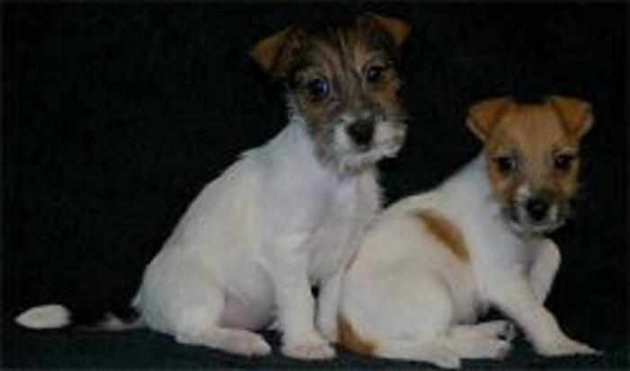 Jack Russel Terrier Puppies (REDUCED)