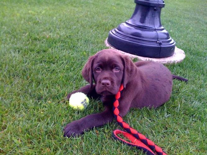Labrador Retrievers Puppies-Black- English Lines-***READY NOW***