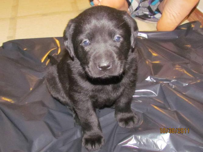 LABS-FOR SALE