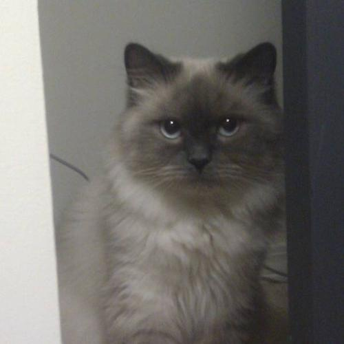 Lilac Colorpoint Ragdoll/Himalayan Queen