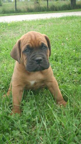 LITTLE/BIG MONSTERS FRENCH/BULL MASTIFF PUP