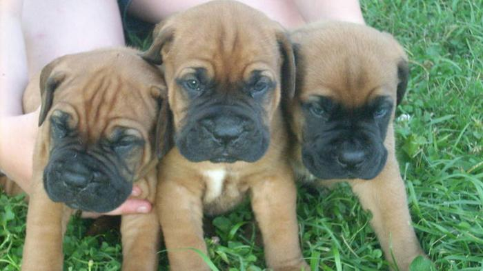 LITTLE/BIG MONSTERS ON THE WAY FRENCH/BULL MASTIFF PUPS