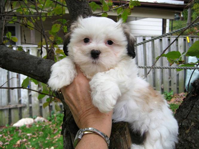 Maltese Cross Puppies Related Keywords & Suggestions