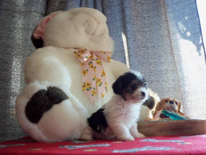 male morkies pups only males