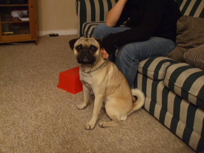 Male Pug (I have found a forever home)
