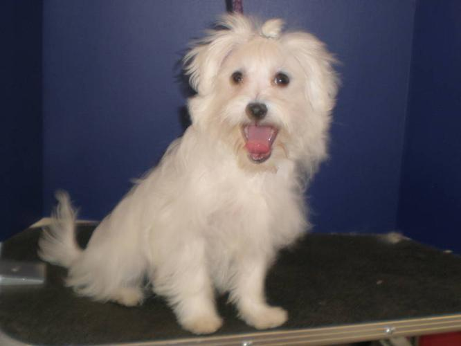 MALTESE FEMALE AND 2 MALES