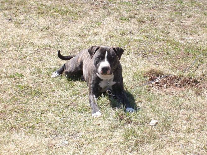 mastiff cross valley cross boxer puppies