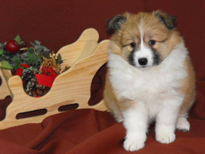 Mini American Eskimo X Sheltie - female puppy