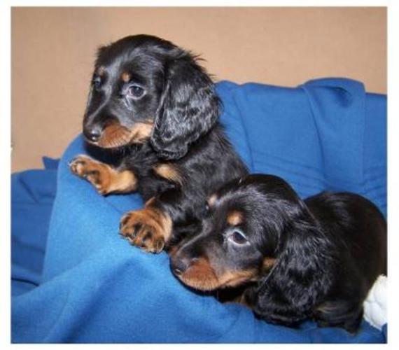 Mini Dachshund Puppies !
