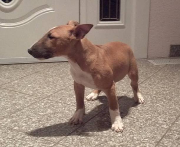 Miniature Bullterrier Pup