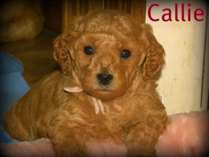 Miniature Golden Doodle Pups Available.