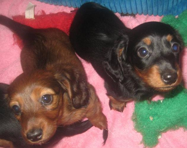 Miniature Long-haired Dachshund Puppies