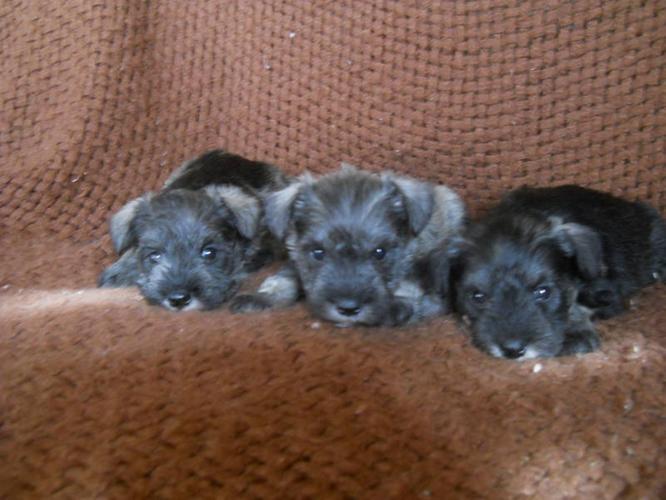 Non Shedding Dogs For Sale Alberta