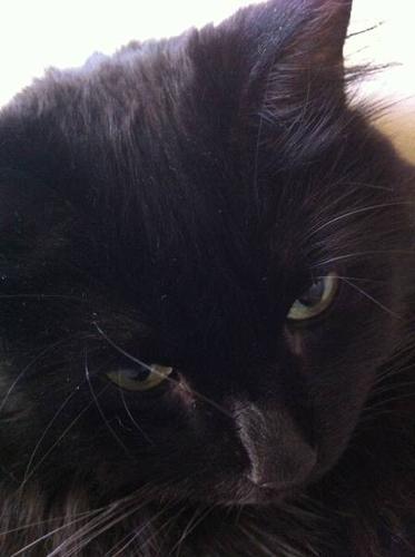 MISSING: Black Cat