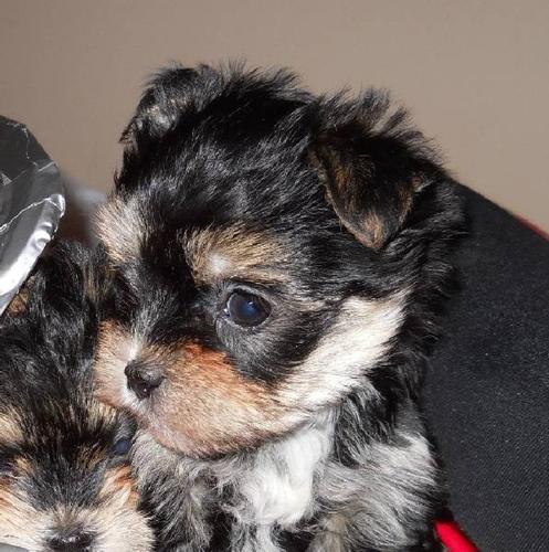 Morkie (Maltese/Yorkie) male puppy