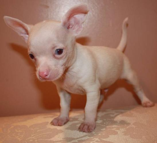 My little puppies are ready -MICRO TEACUP CHIHUAHUA for sale