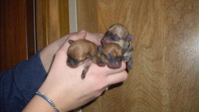 NEW TINY CHIHUAHUA PUPS
