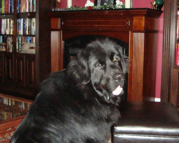 Newfoundland Puppies for Sale - (The Nana Dog)