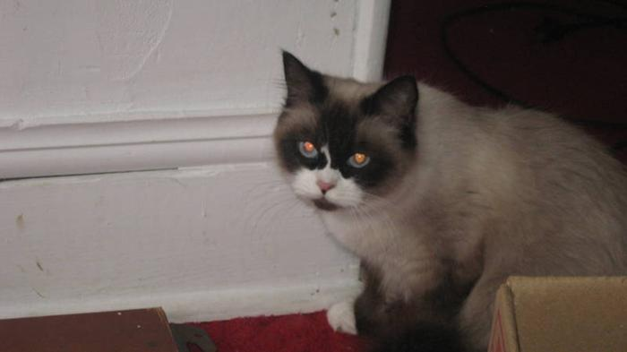 NURSEING RAGDOLL CAT WITH 5 KITTENS FOR SALE for sale in