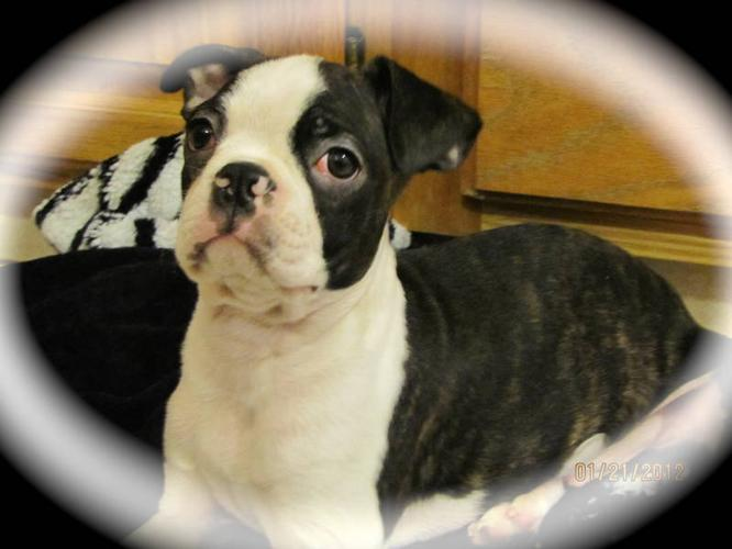 One Brindle Male Boston Terrier Puppy