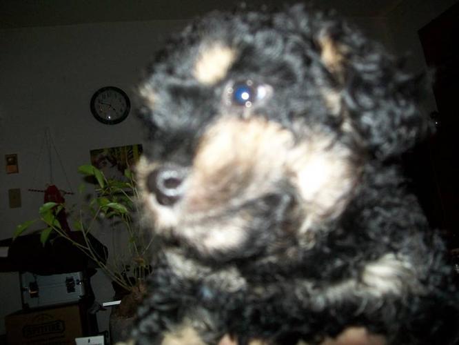 Peekapoo/Toy Poodle For Sale! Urgent!