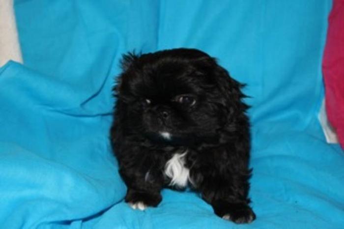 Pekengnese/Shihtzu Puppies for Sale