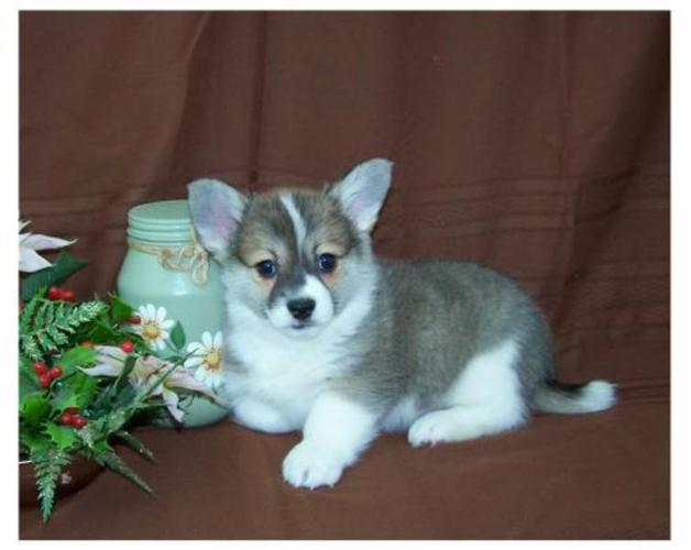 Pembrooke Welsh Corgi x Chi puppies