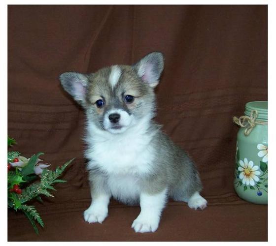 Pembrooke Welsh Corgi x Chi puppy: Only One Left