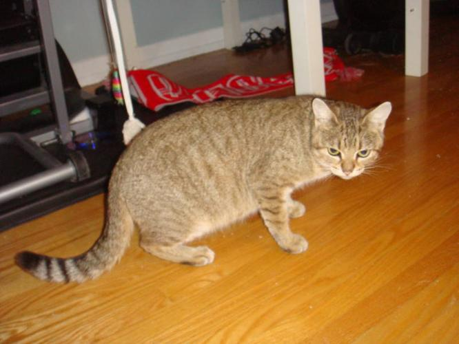 Petite Light Brown Tabby Female 1 year old needs a great home!