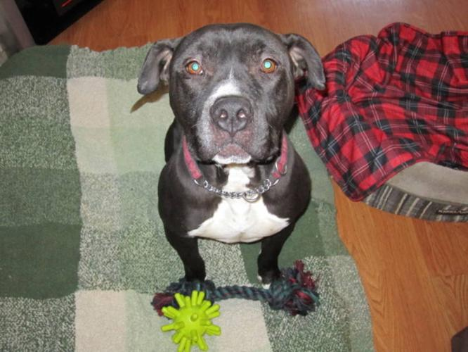 Pit Bull Rescue - DICE - 3 yr old Male Pit Bull!!