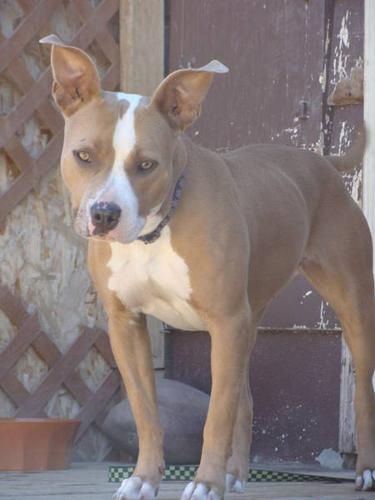 Pit Bull Rescue - FEBEE - 2 year old female Pit Bull!!