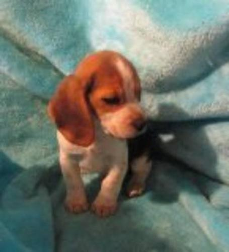 Pocket Beagle puppies for sale in Langley, British Columbia