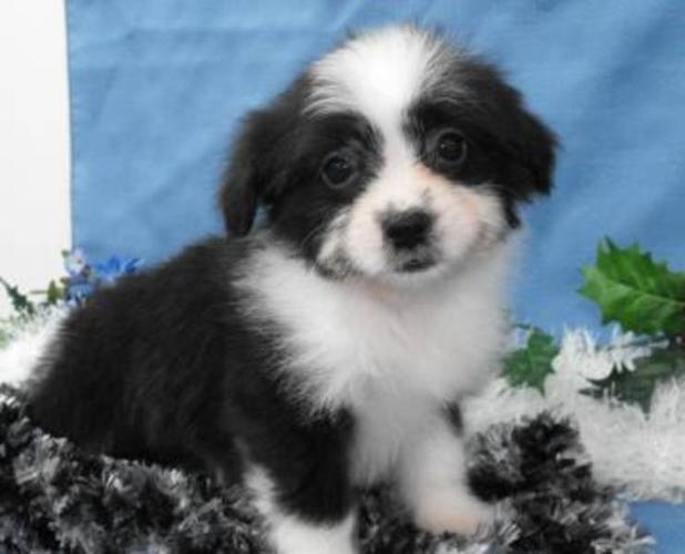 Pomeranian X Shih Tzu Puppies - Non-shedding, 2 vaccinations