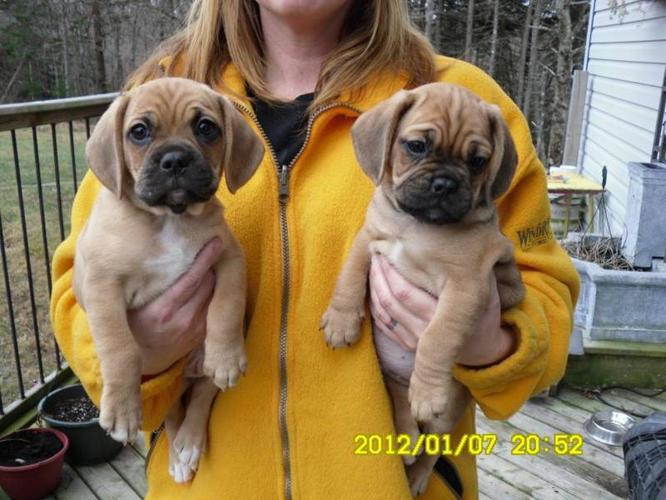 PUGGLE PUPPIES FOR SALE for sale in Mavillette, Nova Scotia