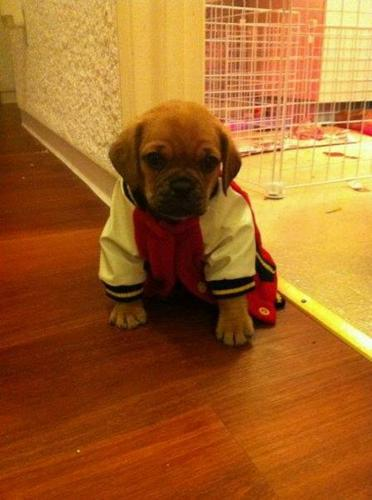PUGGLE PUPPIES- REDUCED in price