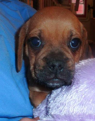 Puggle Puppies!