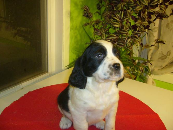 Puppies for sale - English springer