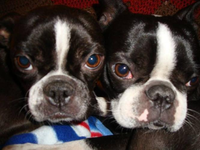 Pure Bred Boston Terriers