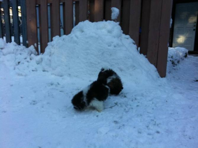 Pure breed Shih Tzu first snow fall