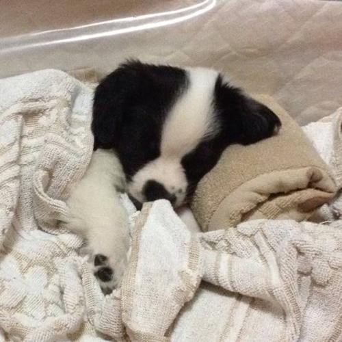 pure male English springer puppy