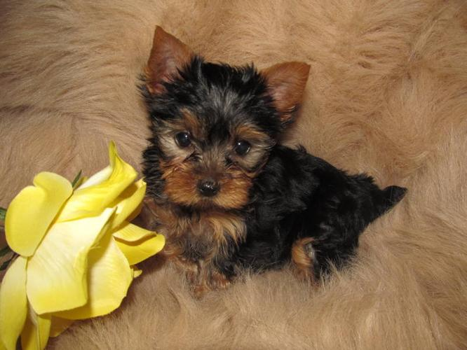 Pure Yorkie Puppies Females Teacup-Toy size