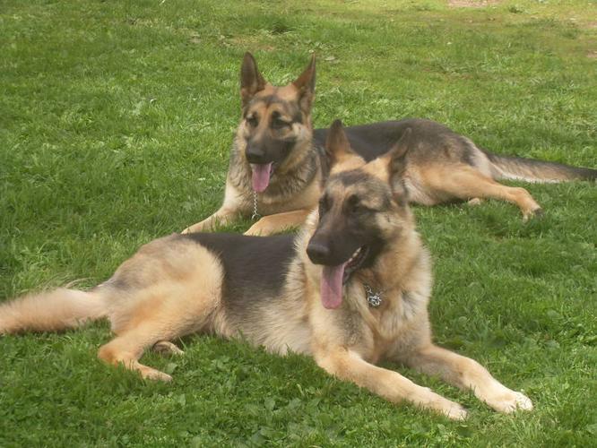purebread shepherds