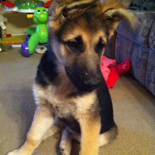 Purebred German Shepherd