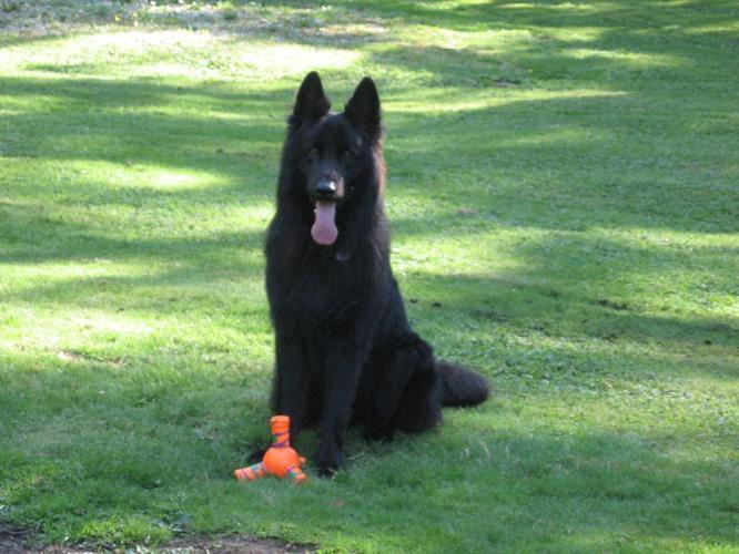 Purebred Long Hair BLACK German Shepherd Puppies (VERY RARE)