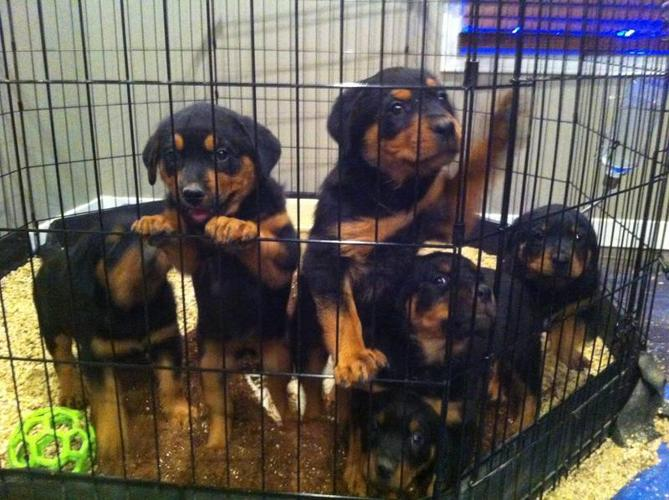 Purebred Rottweiler Puppies Ready To Go Home Today