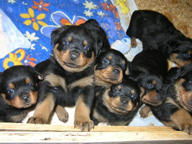 Purebred Rottweiler Puppies For Sale In Mara British Columbia