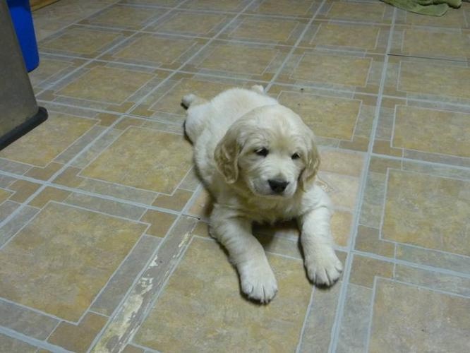 purebreed golden retriever puppies