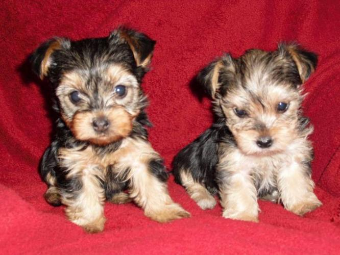 QUALITY AND PURE YORKSHIRE TERRIER PUPS GOING FOR A GOOD PRICE