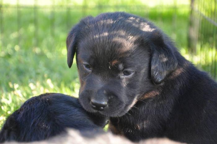 Quality English Labrador Retrievers